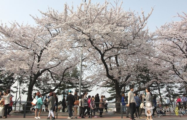 汝矣島漢江公園:春天賞櫻